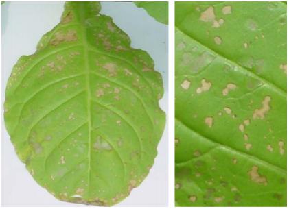 Figura 1: Fotos das necroses provocadas por ozônio em folhas de N. tabacum 'Bel W3'.